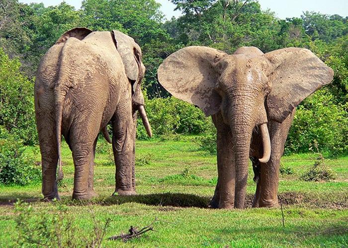 elephant_PN Molé